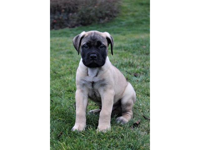 Bullmastiff - puppies with pedigree for sale