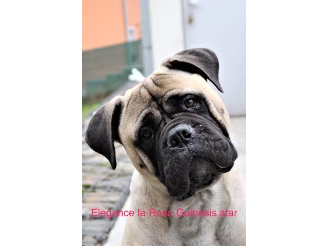 Bullmastiff - puppies with pedigree for sale - 11