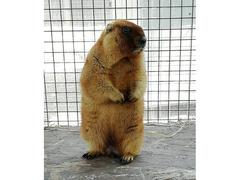 Marmotte Bobak con documenti