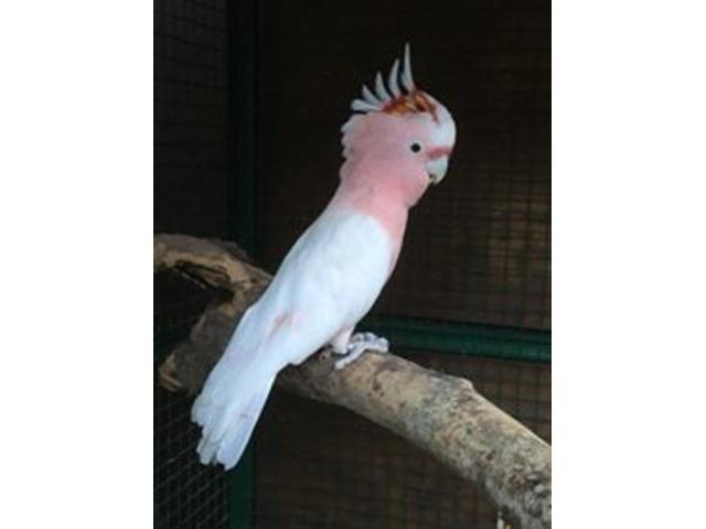 pappagalli Cacatua Libbiter