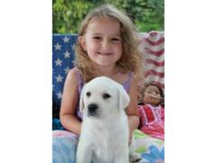 Labrador Retreiver cuccioli