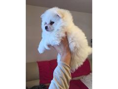 Cuccioli Pomerania disponibili,