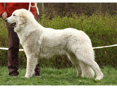 Pyrenean mountain dog - puppies