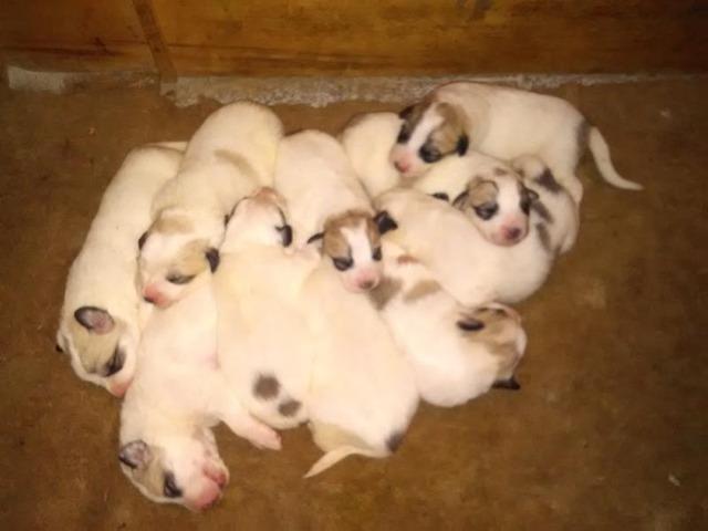 Pyrenean mountain dog - puppies