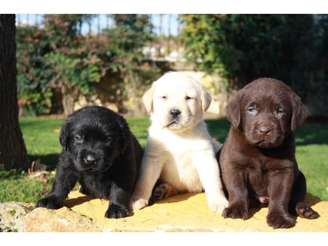 Labrador retriever cuccioli - 1
