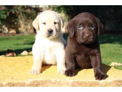 Labrador retriever cuccioli - 2