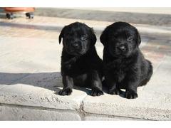 Labrador retriever cuccioli - 3