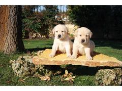 Labrador retriever cuccioli - 4