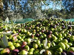 Vendesi olio extravergine di oliva