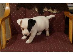 Mini piedini di razza Jack Russell Terrier cucciolo