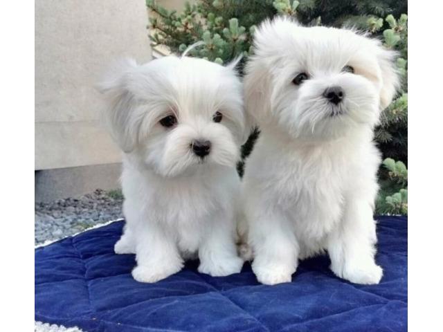 Cuccioli maltesi eccezionali
