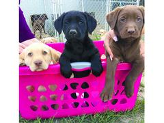 Cuccioli Labrador maschi e femmine disponibili